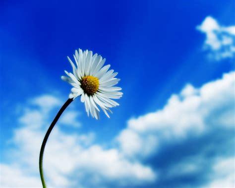 immagini sfondo fiori sfondi e wallpaper desktop fiori sfondi margherita