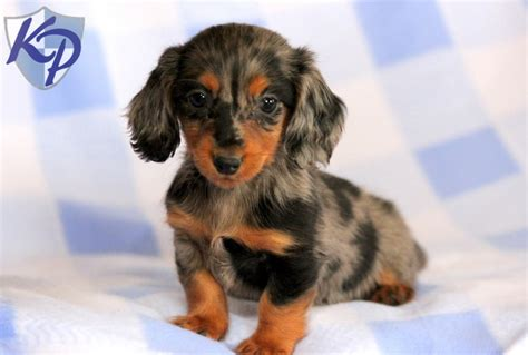 miniature dachshund puppies for sale teacup dachshund puppies for sale miniature dachshund teacup breeds picture
