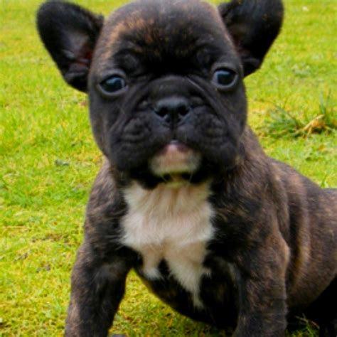frenchton puppies for sale oregon frenchton dogs breeds picture
