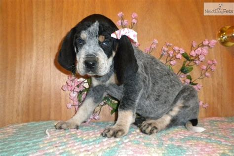 bluetick coonhound puppies for sale in bluetick coonhound puppy for sale near augusta 4bf281c1 dd41
