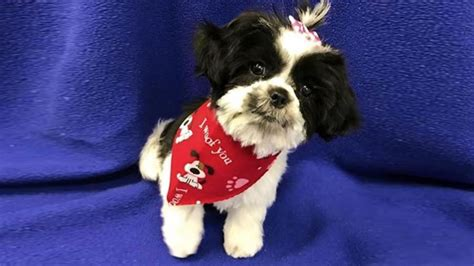 shih tzu tears shih tzu puppy s adorable meltdown has groomer in tears of laughter rover