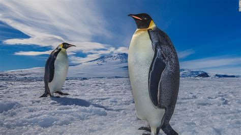the first man penguin b00gedd3z6 thousands of penguins die after iceberg traps colony cnn