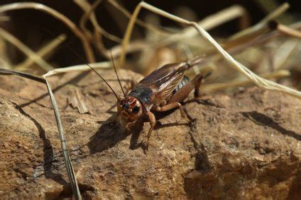 crickets in house meaning crickets insects symbolism and meaning