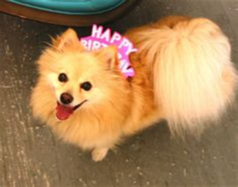 happy birthday pomeranian 1000 images about pomeranian birthday on pomeranians happy birthday and