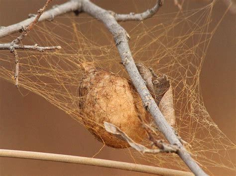 black  yellow garden spider egg sack dfw urban wildlife