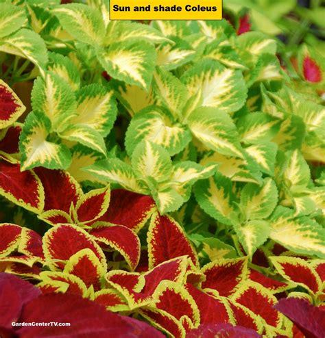 sun foliage plants coleus foliage plant for sun or shade garden center tv