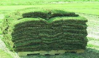 Bibit Rumput Lapangan Sepak Bola rumput golf rumput jepang cynodon datylon rental