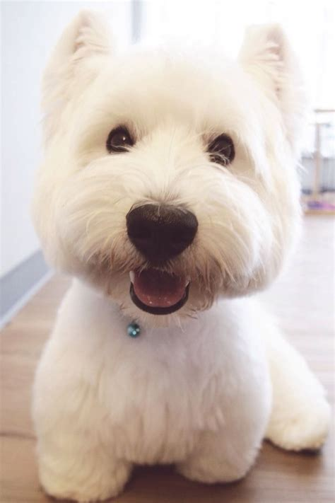 close cut westie pics 1000 images about scotties and their good friend the