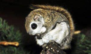 scogliattolo volante scogliattolo volante 28 images lo scoiattolo sciurus