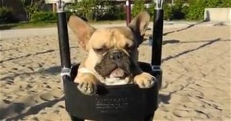 french bulldog swing a french bulldog in a swing on the beach vulture