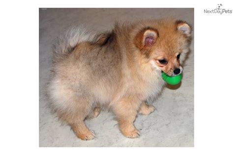 pomeranian paws meet a pomeranian puppy for sale for 500 santina paws pomeranians