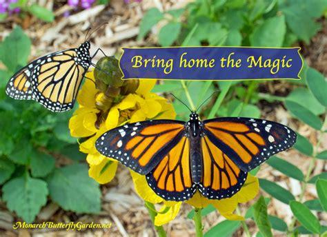 monarch butterfly monarch butterfly garden raise monarchs gardening