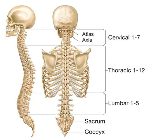 5 sections of the vertebral column homeopathy treatment for slipped disc spondylosis