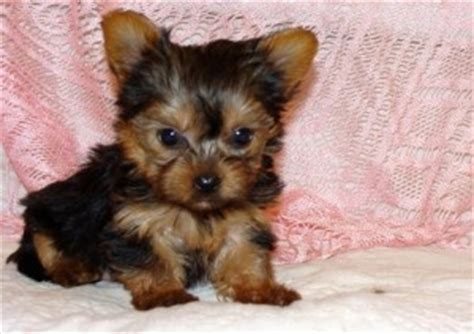teacup yorkies for adoption in louisiana pets ruston la free classified ads