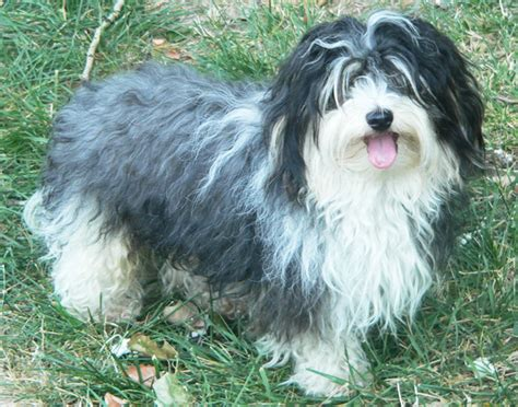 do havanese dogs bark a lot apartment dogs 10 low maintenance dogs for apartment dwellers curiosity aroused