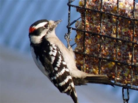 suet for birds