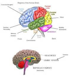 sections of the brain and their functions parts of the brain and their functions applecool info