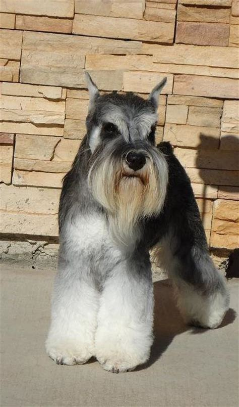 7 pageant worthy schnauzer dog haircuts hairstylec mini schnauzer haircuts haircuts models ideas