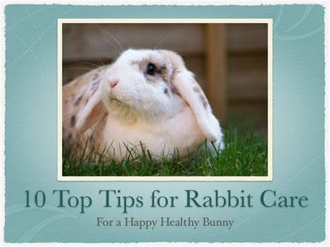 8 Tips On Caring For Pet Rabbits by 10 Top Tips For Rabbit Care