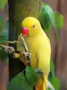 loveyourparrot com indian ringneck parakeets