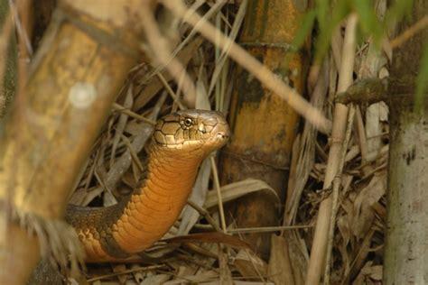 Nesting Panci Cing By Den photos of the king cobra kalyan varma