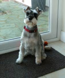 schnauzer hair styles miniature schnauzer haircut diagram dog breeds picture