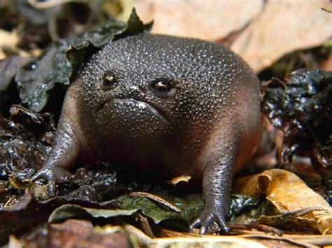 meet  worlds grumpiest  frog