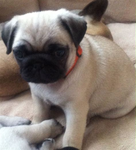 kennel club pug breeders kennel club assured breeder fawn pug puppies stoke on trent staffordshire pets4homes