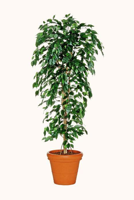 ficus planta interior plantas para interiores oficinas