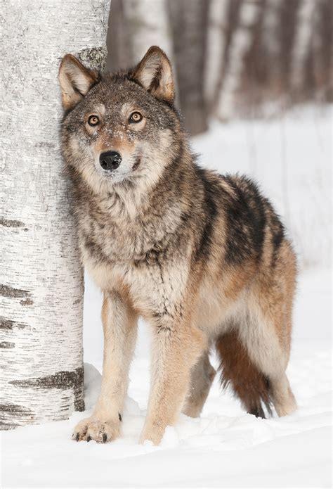 nature  wolves   nature  man