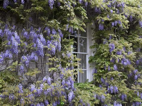 how to grow and prune wisteria saga