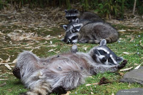 raccoon images the secret city of raccoons forterra