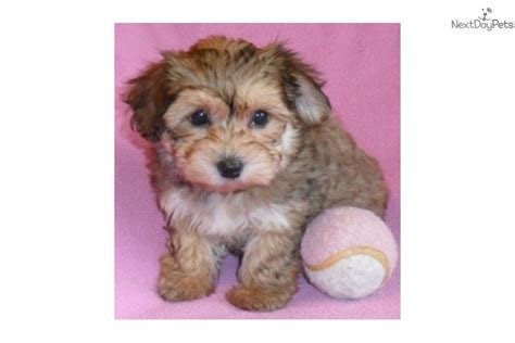yorkie poo adults pictures pin yorkie poo the woof room part 2 on