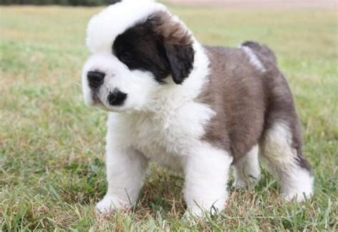 St Overal Puppy bernard not in the housenot in the house