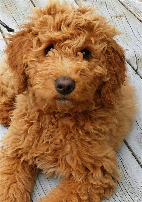 goldendoodle puppy personality goldendoodle history personality appearance health and
