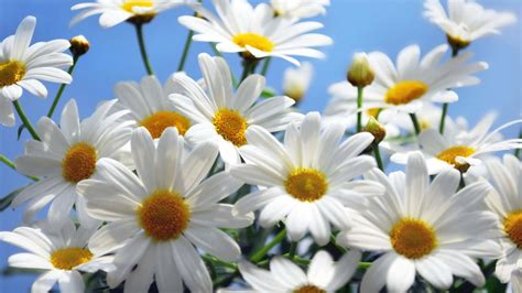 daisies flower 15 inspiring daisy flower photos mostbeautifulthings