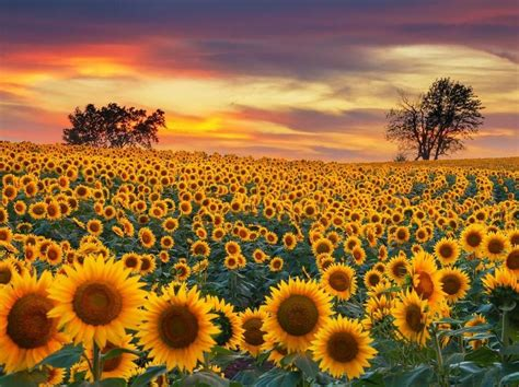 contoh deskripsi singkat bunga matahari  bahasa