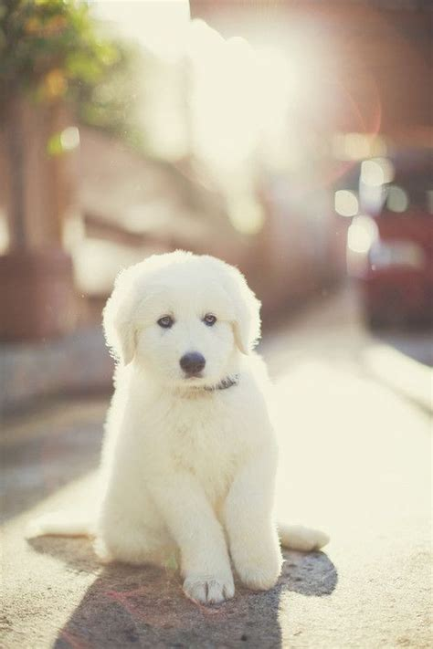 golden retriever protects baby best 25 great pyrenees puppy ideas on gimme your attention baby pyrenees