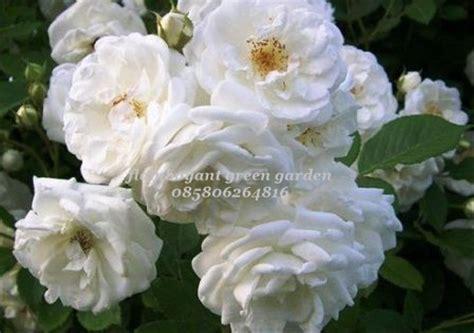 jual bibit tanaman bunga mawar putih rambat  lapak plaza