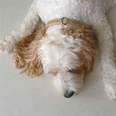 goldendoodle puppy ear infection best 226 i want a cavoodle images on animals