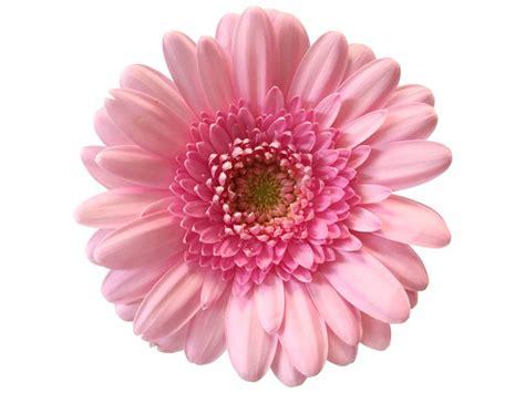 Rosa Blumen by 10 Mini Gerbera Rosa Bezahlbare Blumen De Bezahlbare