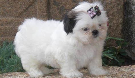 baby shih tzu adoption beautiful imperial shih tzu puppies for adoption