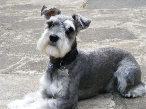 miniature schnauzer dog breed miniature schnauzer dog breed newhairstylesformen2014 com