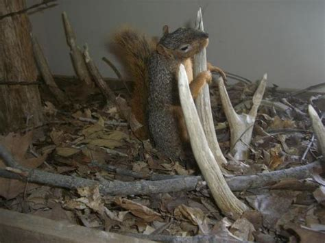 a squirrel shed antler mount you won t soon forget