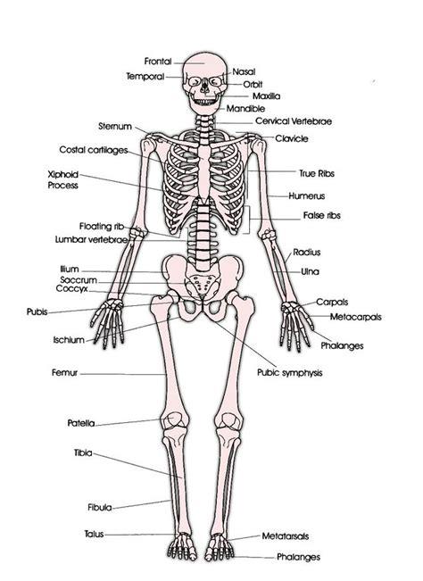 skeletal system diagram pdf dancer s resources the skeletal system