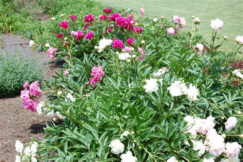 franklin county pa gardeners peonies are blooming