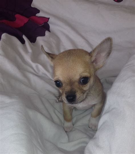 chihuahua for sale 1 chihuahua puppy for sale stowmarket suffolk pets4homes