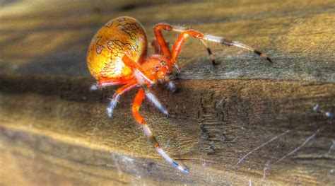 pumpkin spider backyard birding and nature marbled orb weaver spider