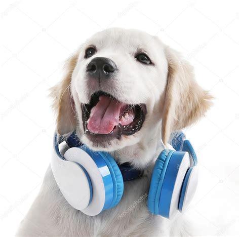 puppy with headphones labrador with headphones stock photo 169 belchonock 110130710