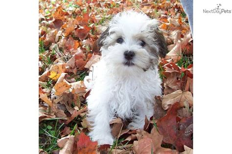 maltese havanese mix puppies for sale pictures